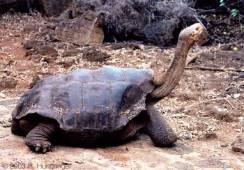 Pinta-Island-tortoise