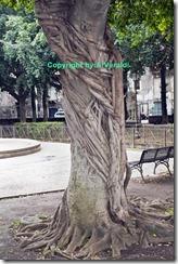 Uno dei centenari Ficus macrophylla presenti nel parco