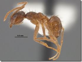 Hairy Crazy Ants